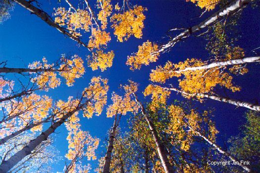 A Circle of Aspens Trees Dominate this Fall Image
