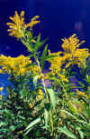 Canada Goldenrod in Late Summer (97489 bytes)