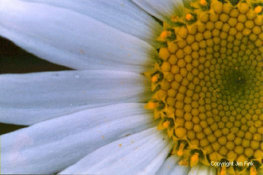 Daisy Flower Macro Picture