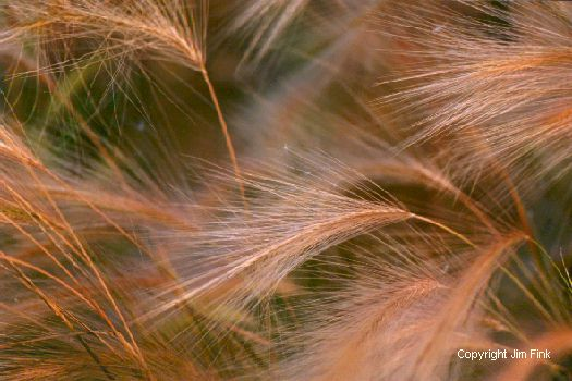 Foxtails Sway in a Summer Breeze