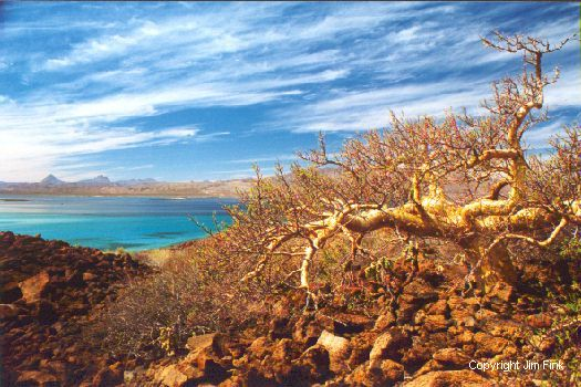 Desert Tree Looks Back At Loreto Across a Tropical Blue Bay