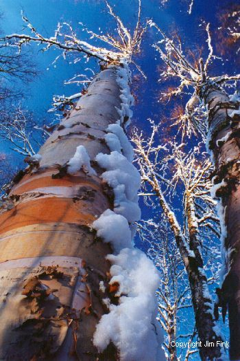 Sun Highlights Snow on Birch Trees After a Winter Storm